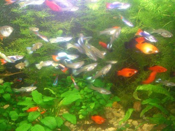 Gupiki rybki akwariowe - sprzedam