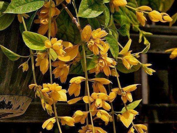 Петровитекс бамбуковидный - Petraeovitex bambusetorum.