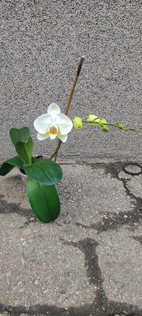 Продам сортовую орхидею Cambridge орхидея орхидеи