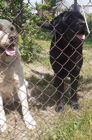 Szczeniaki rasy Labrador