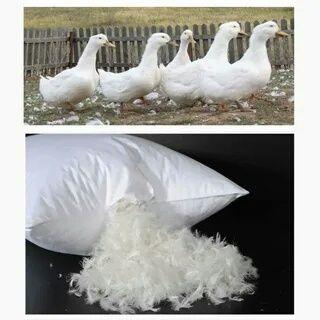 Покупаем пух перо из гусей и уток а также старые подушки и перины