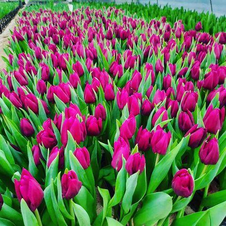 Красивейшие тюльпаны в горшках опт и розница