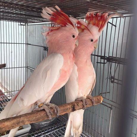 Ручные птенцы выкормыши крупных и средних попуг