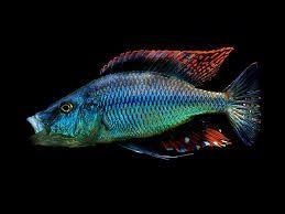Pyszczak Dimidiochromis compressieceps