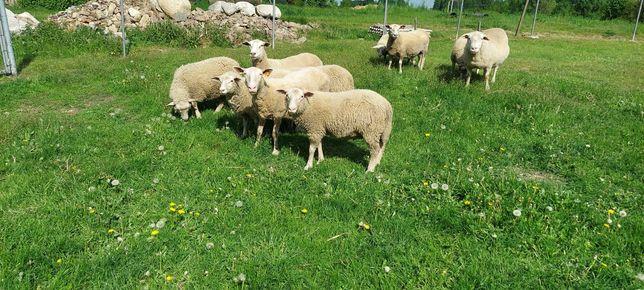 Sprzedam Owce Pomorskie