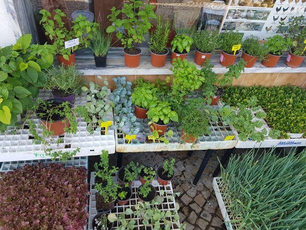 Plantas hortícolas