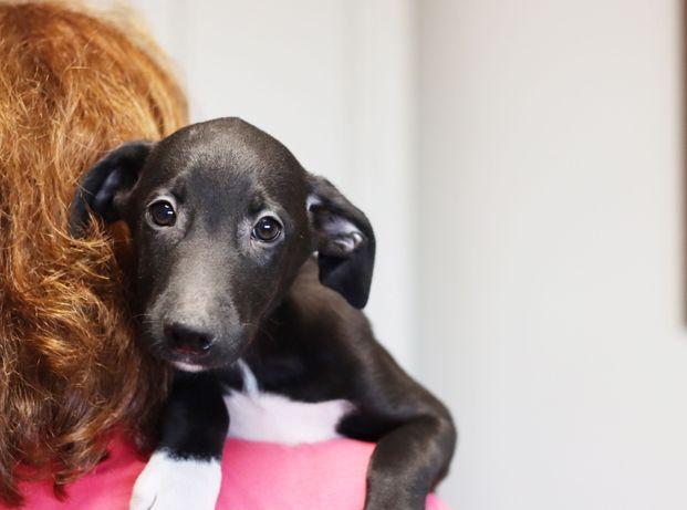 Милый щенок ищет дом. Цуценя метис лабрадора.