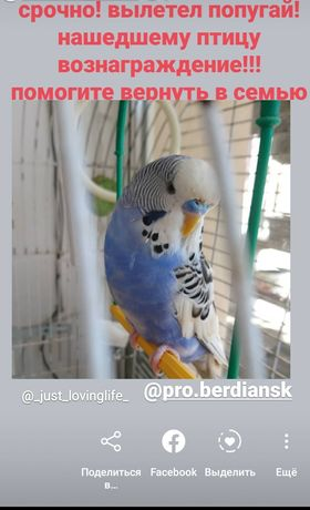 волнистый попугай вылетел потерялся верните если найден нашелся