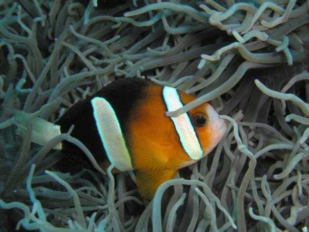 Morskie - Amphiprion clarkii M
