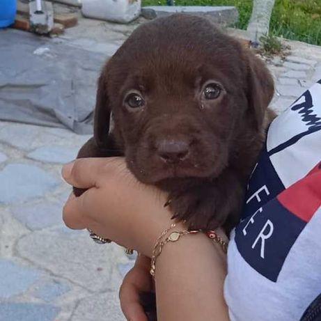 Labrador Retriever PURO Chocolate