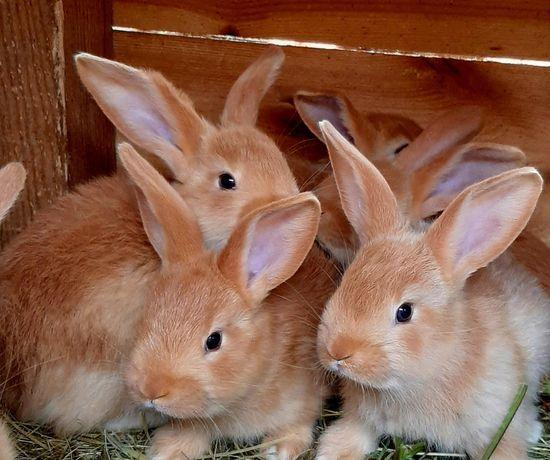 Бургундские кролики