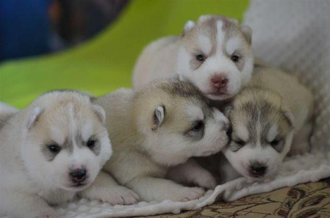 Siberian husky przepiękne  rodowodowe szczenięta ZKwP /FCI