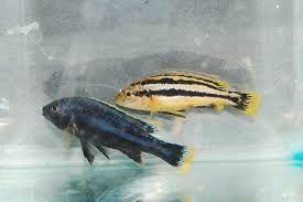 Pyszczak Melanochromis chipokae elblag Elbląg - image 1