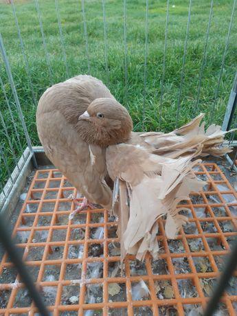 Pawik pawiki gołębie ozdobne gołąb ozdobny