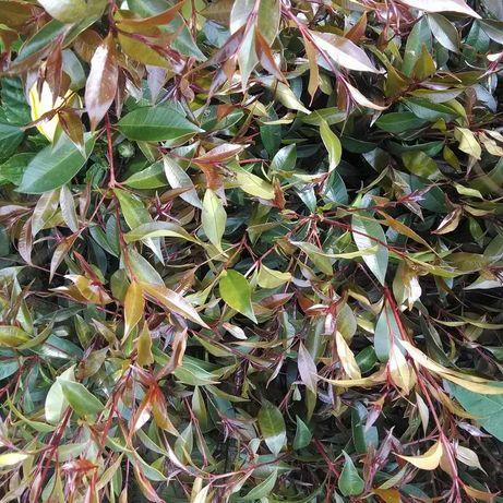 Eugenias para sebes malaleucas mitrosideros lauros nobilis