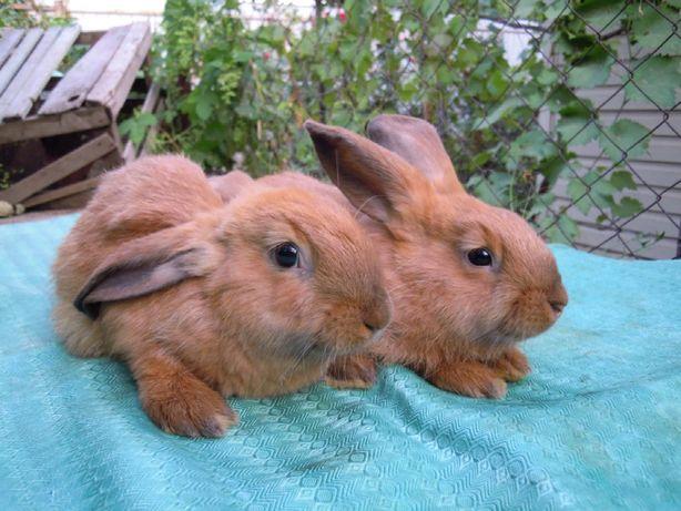Самки Азовский кролик