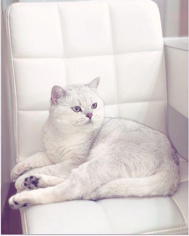 Племенной кот, британец Томас, серебристая шиншилла, на вязку!)