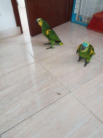 Papagaios e araras
