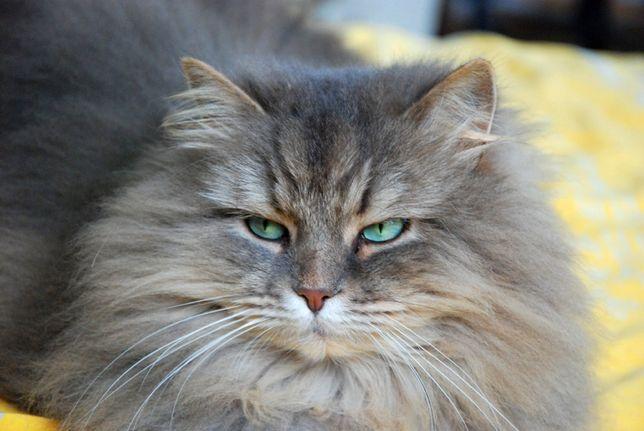 Zaginęła 10 letnia szara kotka syberyjska; Częstochowa kot długowłosy