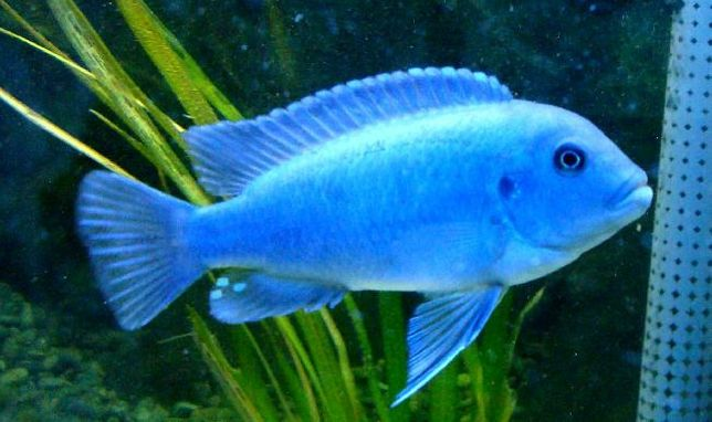 ciclideo cicofili blue