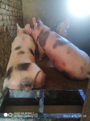 Продам мясо домашньої свинини