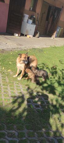 Oddam szczeniaki owczarka niemieckiego