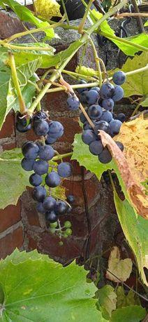 Winogrono z własnego ogrodu
