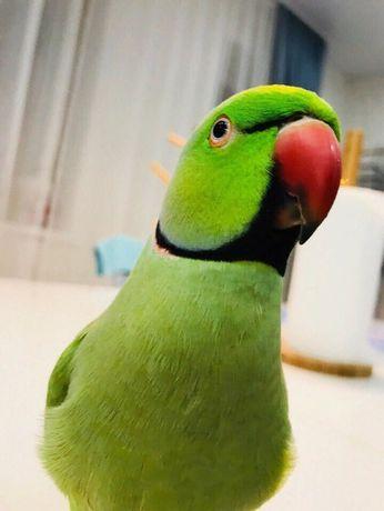 Попугай ожереловый самец говорящий