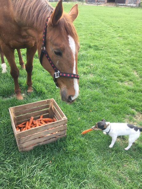 Marchew odpadowa dla koni, krów, królików - pasza dla zwierząt.