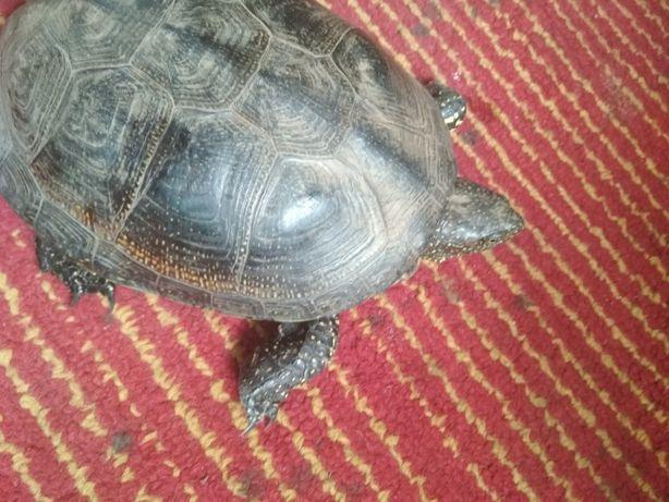 Продам черепаху взрослую