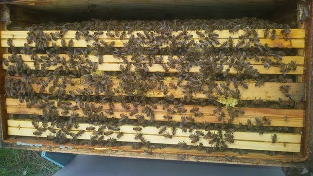 Ramka wielkopolska Odkłady pszczele 2021 , pasieka, matki .JAKOŚĆ