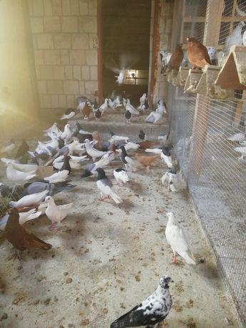 Sprzedam około 200szt gołębi.
