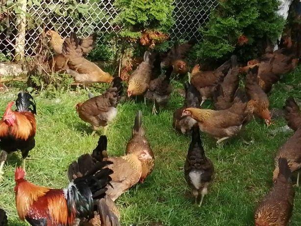 Kury zielononozki kuropatwiane 15szt +kogut, znoszą już jajka