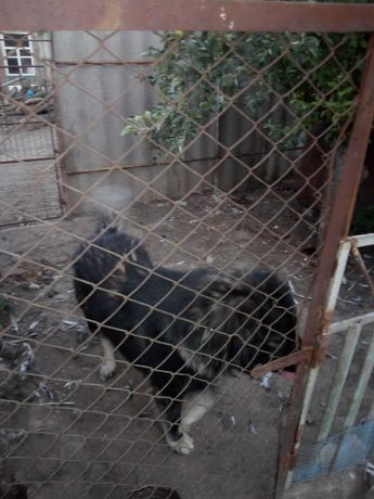 Кавказская овчарка вязка