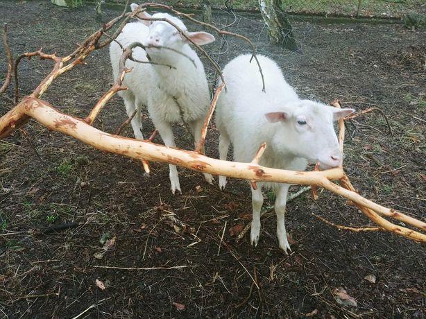 Sprzedam owce Fryzyjskie baranki 4-miesięczne