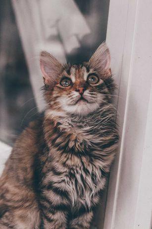 Отдам кошку-Ириску в хорошие руки