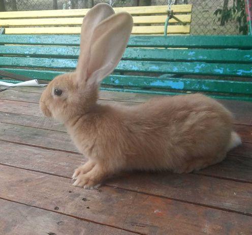 SPRZEDAM króliki Polecam!!!