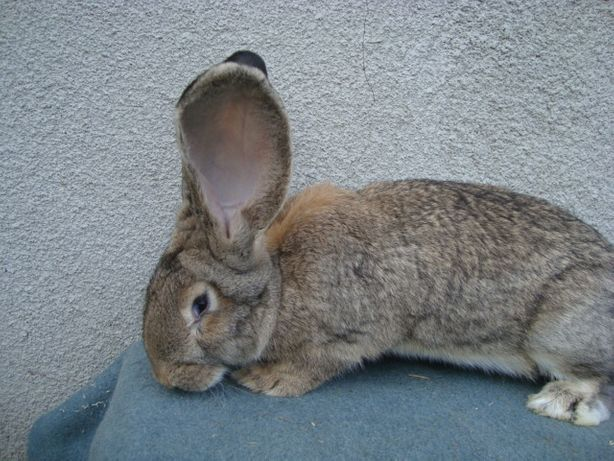 królik belg olbrzym belgijski samiec króliki 7 mies