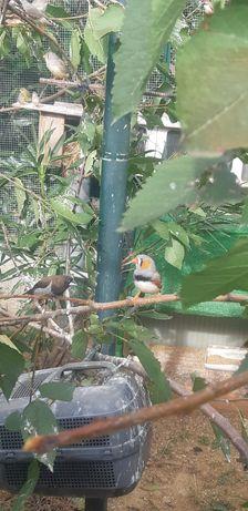 Vendo mandarins machos e femeas