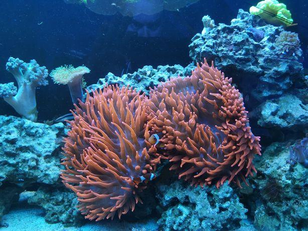 Ukwiał Quadricolor Entmacea Red, XXL, akwarium morskie.