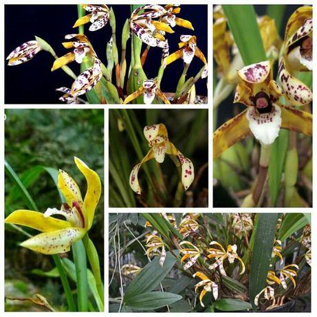 Продам Maxillaria picta