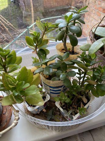 Кімнатні квіти (рео,кактус,грошове дерево,сансевиерия,каланхое,герань)