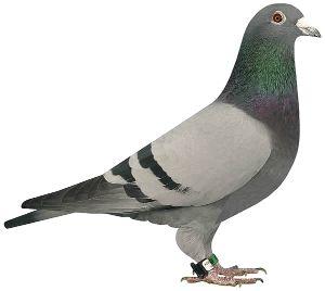 Gołębie młode pocztowe zaobrączkowane