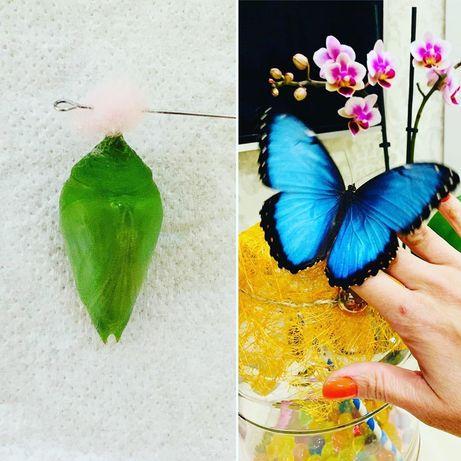Бабочкарии, живые бабочки и куколки, палочники.