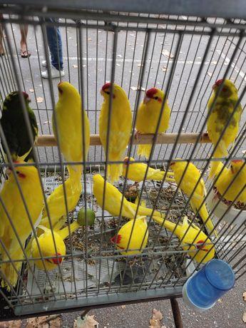 Kakarikis amarelos e de mutações