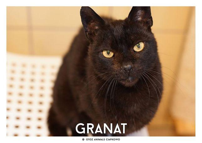 Granat - koci senior czeka na dom! OTOZ Animals Schronisko Ciapkowo