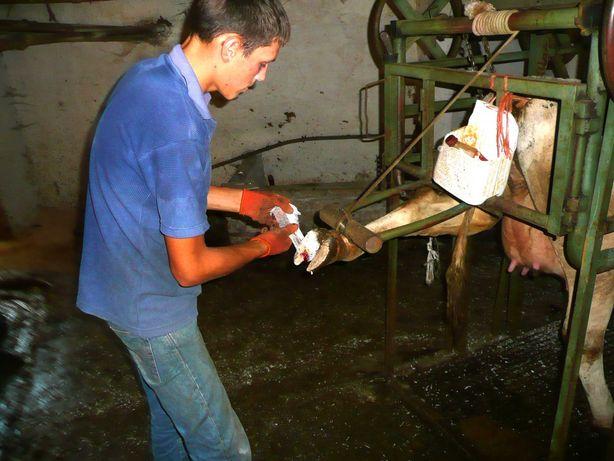 Робота з коровами