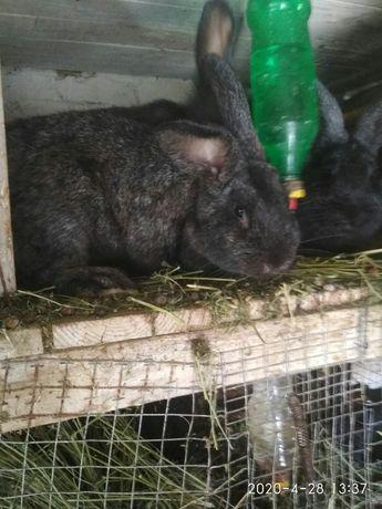 Продам кролей для розвода