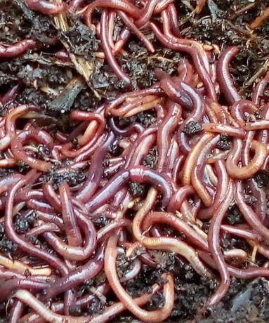 Kit com mais de 1500 minhocas Californianas para vermicompostagem