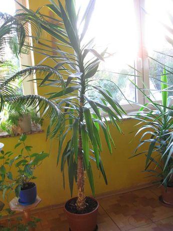 Palma Juka wysokość 220 cm